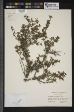 Cercocarpus intricatus image