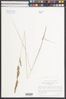 Calamagrostis stricta subsp. stricta image