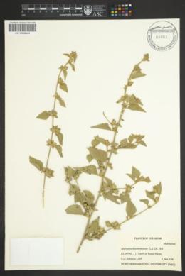 Image of Malvastrum tomentosum
