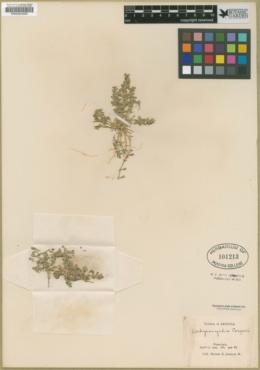 Achyronychia cooperi image