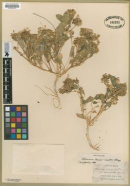 Tripterocalyx crux-maltae image