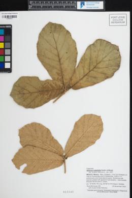 Quercus crassifolia image