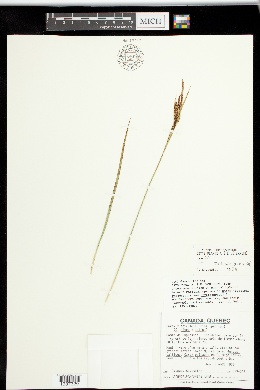 Image of Carex x spiculosa
