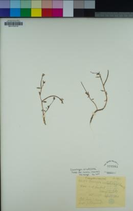 Downingia ornatissima var. mirabilis image