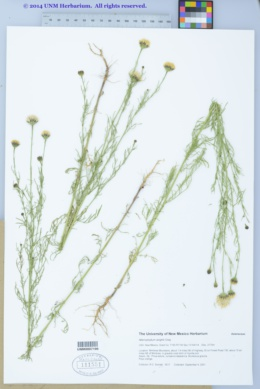 Adenophyllum wrightii image