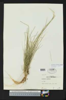 Aristida purpurea var. purpurea image