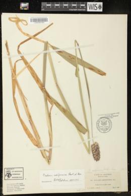 Phalaris californica image