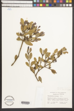 Image of Phoradendron argentinum