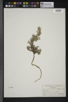 Image of Astragalus viridis