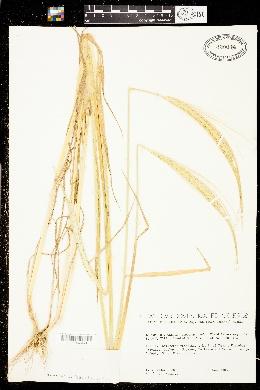 Image of Triticum monococcum