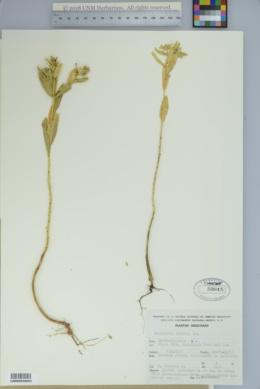 Image of Euphorbia torrida