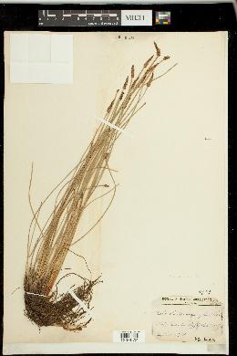 Image of Eleocharis lanceolata