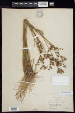 Juncus caesariensis image