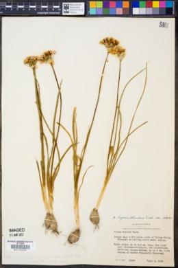 Allium hyacinthoides image