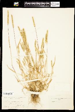 Phleum paniculatum image