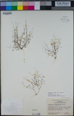Nemacladus secundiflorus var. secundiflorus image