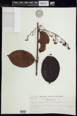 Image of Banisteriopsis grandifolia