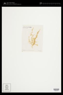 Mesogloia vermiculata image