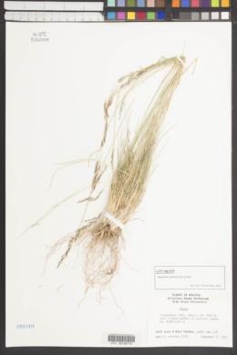 Image of Nassella caespitosa