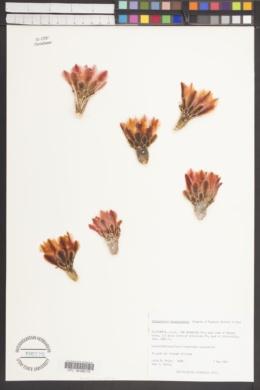 Sclerocactus polyancistrus image