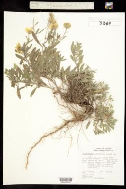 Pyrrocoma uniflora image