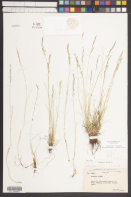 Image of Festuca multiflora