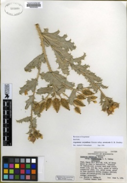 Argemone corymbosa image