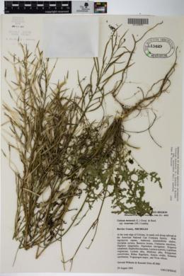 Coincya monensis subsp. recurvata image