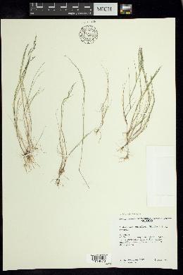 Image of Muhlenbergia subbiflora