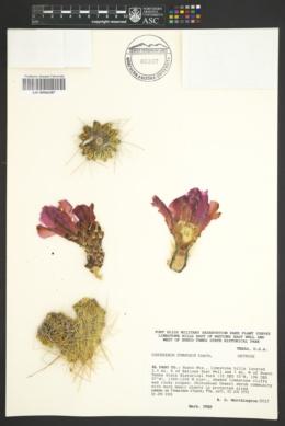 SEINet Portal Network - Echinocereus stramineus