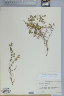 Chamaesyce tomentulosa image