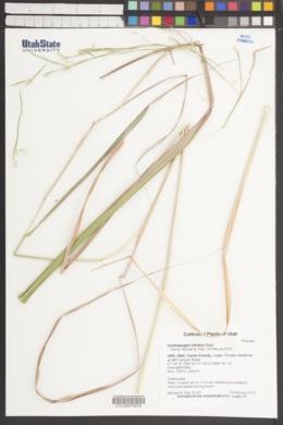 Cymbopogon citratus image