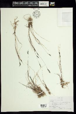 Image of Muhlenbergia brevivaginata