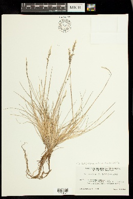 Image of Deschampsia sukatschewii