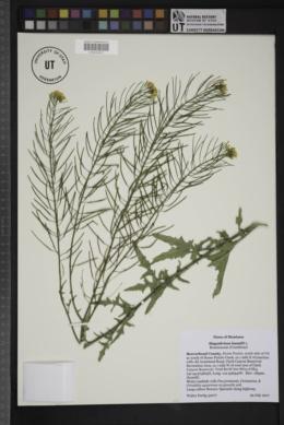 Sisymbrium loeselii image