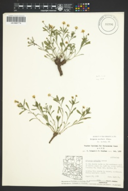 Image of Erigeron anchana