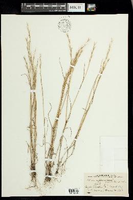 Lolium persicum image