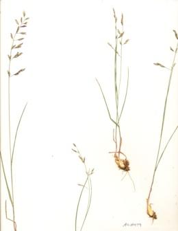 Melica fugax image