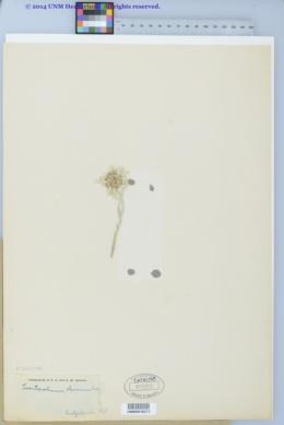 Leontopodium nivale subsp. alpinum image