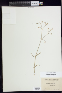 Cerastium velutinum image
