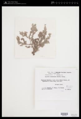 Spyridia filamentosa image