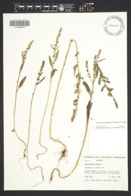Atriplex oblongifolia image