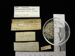 Image of Pisidium conventus