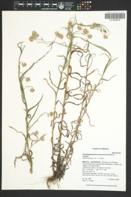 Pseudognaphalium arizonicum image