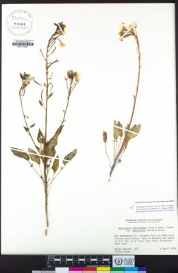 Chylismia claviformis image