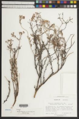 Eriogonum microthecum var. corymbosoides image