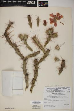 Cylindropuntia acanthocarpa var. major image