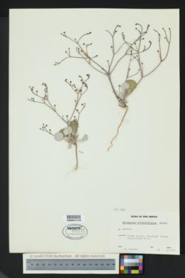 Eriogonum rotundifolium image