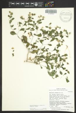 Mentzelia hualapaiensis image