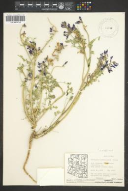 Astragalus lentiginosus var. diphysus image